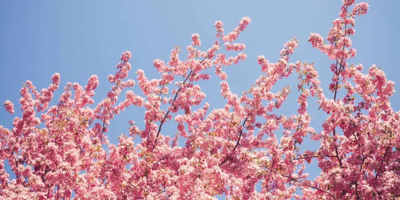 日本一早い沖縄の桜、届きました