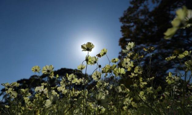 【福岡・SONY】福岡市植物園のコスモス、バラ満開シーズン _ONE DAY ONE SHOOTING !